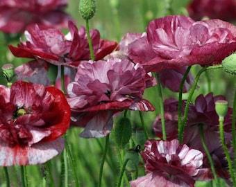 80x Poppies of the World RHOEAS SHIRLEY semplice miscela semi ks606