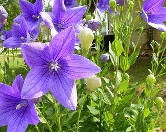 Seeds Balloon Flower Platycodon Mix Flower Perennial Garden Outdoor Ukraine