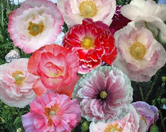 100 seeds Shirley Poppies, double mixture (PAPAVER RHOEAS)