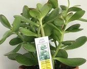 Live Jade Plants in 5 quot plastic pot, Crassula Argentea, Lucky Money Plant - Gorgeous Houseplant