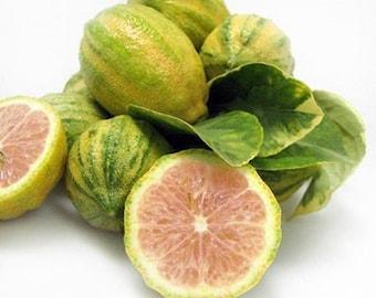 Pink Variegated Lemon 1 - 2 ft. tree, Free shipping w/o pot, ** Not ship to Az, Ca, La, Tx, Fl**
