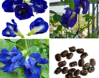 100 Pea seeds,Butterfly Pea Anchan อันชัญ Fresh seeds