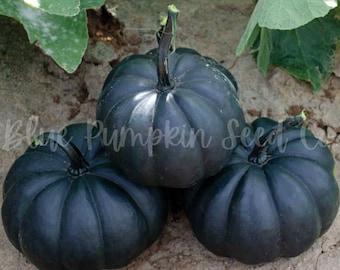 Midnight F1 hybrid pumpkin seeds: Black pumpkin, small black pumpkin, round black pumpkin, black kat, dark knight, dark pumpkin, seeds