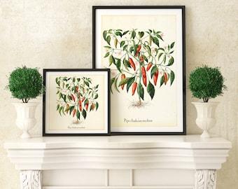 Red Chili Pepper Printable Wall Art, Red Pepper Botanical Illustration, Kitchen Wall Decor, Downloadable Botanical Veggie Poster #066