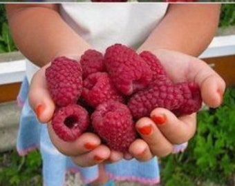 RARE JUMBO Raspberry Fruit Tree 10, 20,40 or 100 SEEDS(No plant)-Combined Shipping Discount(Pay shipping just for the first item) Usa Seller
