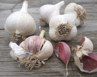 ORGANIC Maine culinary garlic