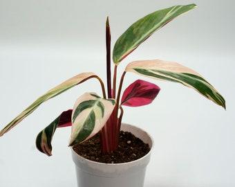 "Live Calathea Triostar  ""Calathea Stromanthe""  | Live Plants | Indoor Plants | House Plants |"
