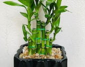 Lucky bamboo with nice ceramic vase available for gift wish for luck.