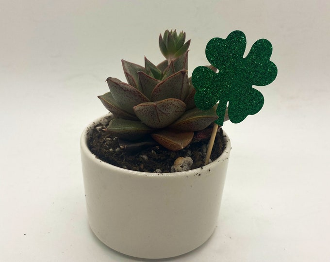 Succulent Gift Box - Irish Blessing St. Patrick's Day  (3 inch plant potted)