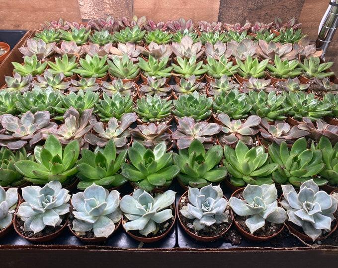 2 inch Succulents - Set of 12