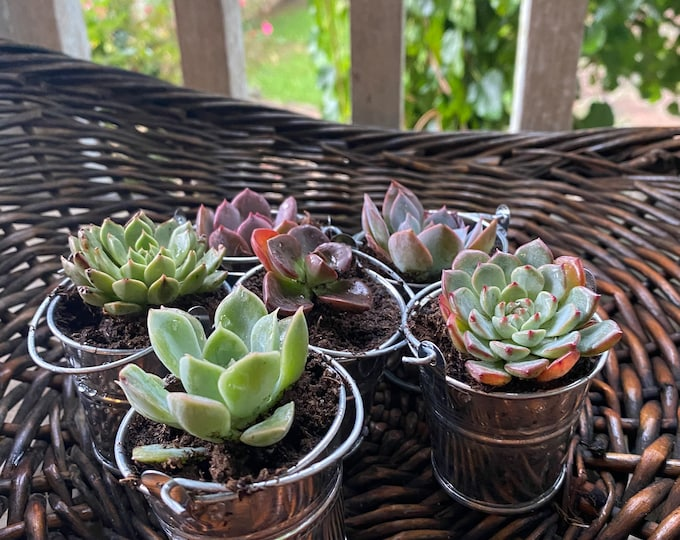 Set of 6 Mini Succulents in bucket