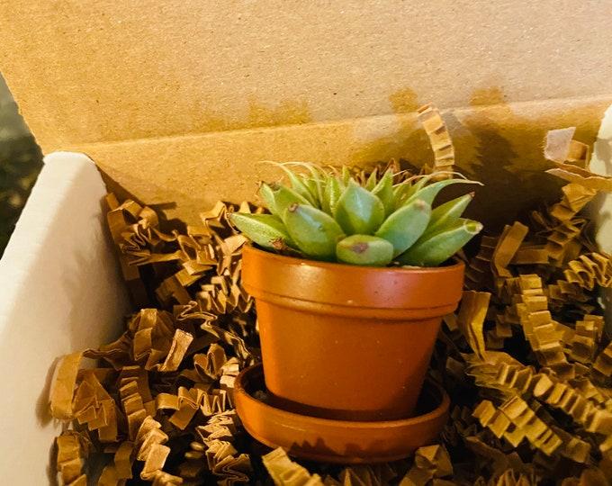 Mini Succulent Gift Box - 1 plant