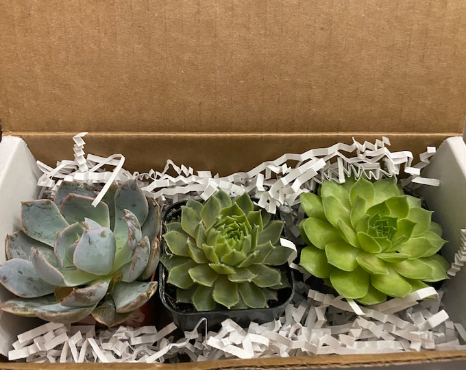 Weekly Subscription Succulent Box - 4 weeks