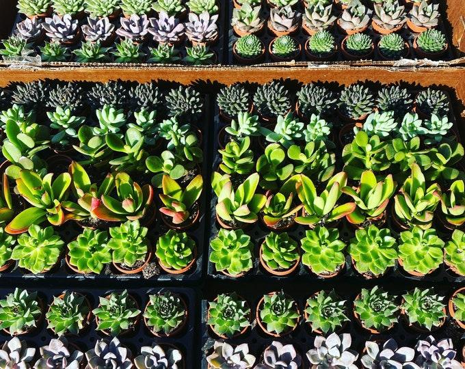 Mini Succulents - 1 inch in pots! Set of 30