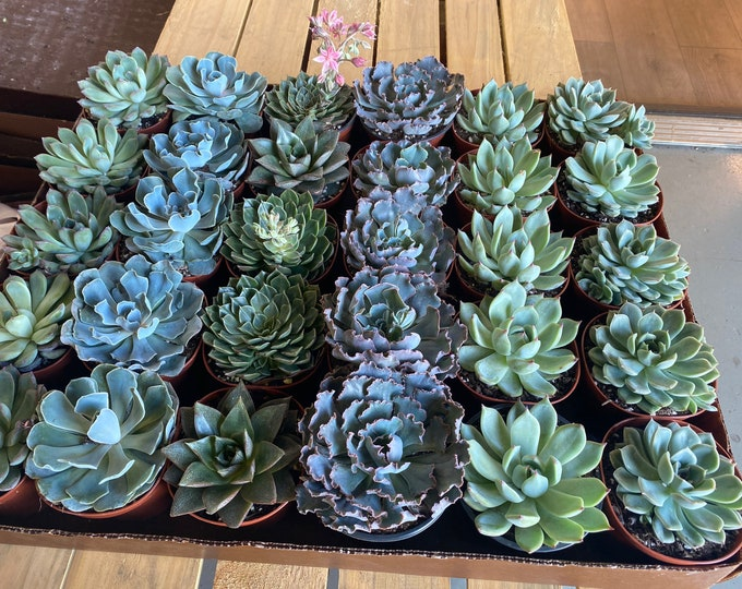 Succulents Variety - 3 inch (Large)