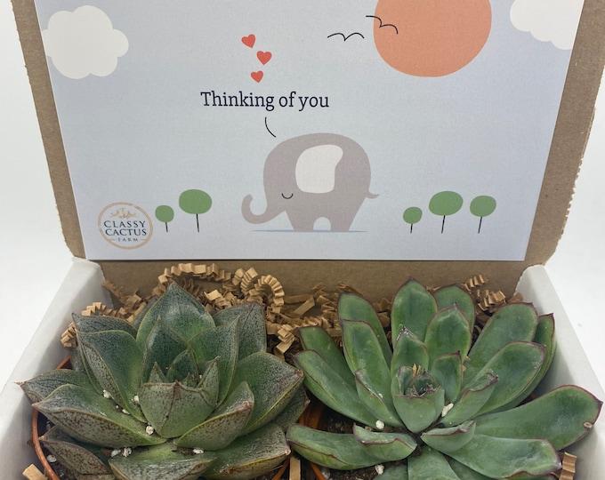 Succulent Gift Box - Thinking of you elephant - 2 Large plants (3 inch plant)