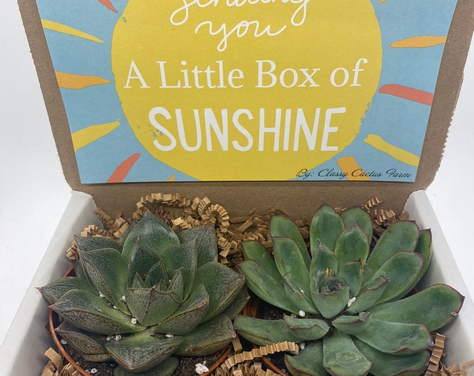 Succulent Gift Box - Box of sunshine 2 Large plants (3 inch plant)