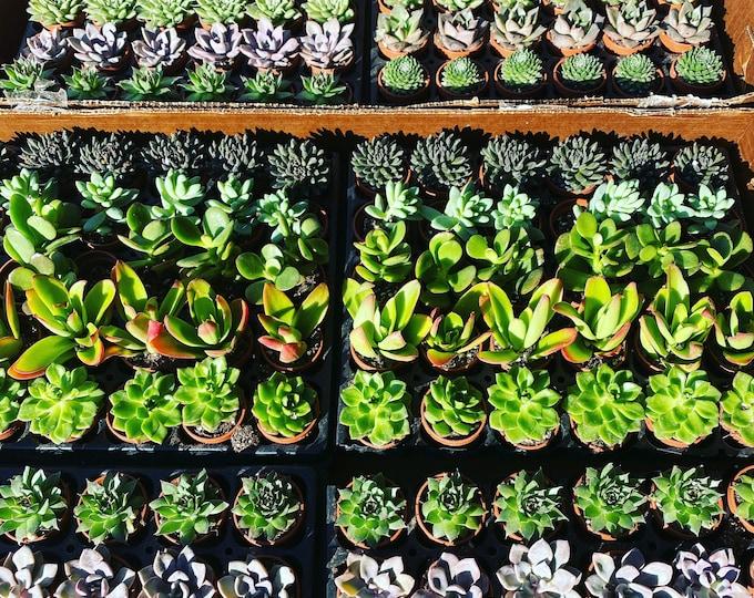 Mini Succulents - 1 inch in pots!