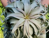 BEST SELLER Xerographica Super Curly Queen . . Air Plant Easy Care Houseplant . . Small, Large, X Large and GIANT . . Big Tillandsia