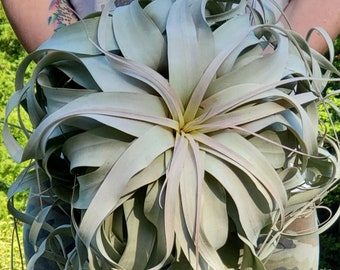 BEST SELLER Xerographica Super Curly Queen .+*+. Air Plant Easy Care Houseplant .+*+. Mini, Small, Large, X Large and GIANT .+*+. Tillandsia