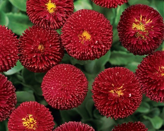 USA SELLER English Daisy Red 100 seeds
