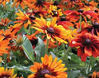 USA SELLER Cappuccino Black Eye'd Susan Seeds 10 seeds HEIRLOOM