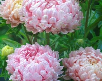 USA SELLER Tall Peony Duchess Apricot Aster 25 seeds HEIRLOOM