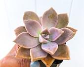 Ghost Plant, Graptopetalum paraguayense, Mother of Pearls, Sedum weinbergii Succulent Live Plant