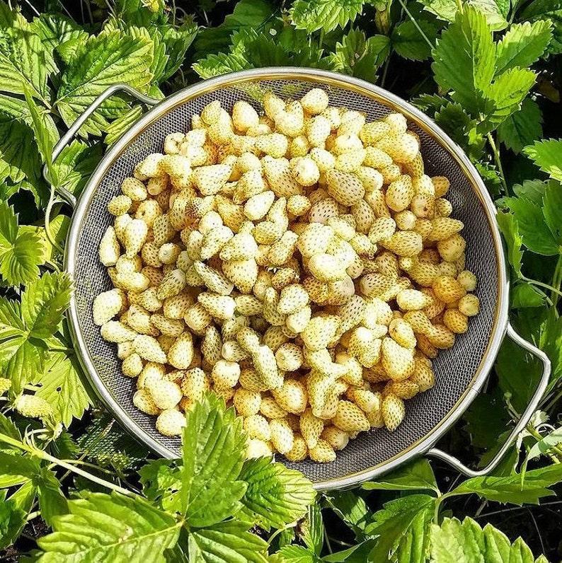 Strawberry Snow White Organic Ukrainian Seeds Early Fragrant Beardless Remontant
