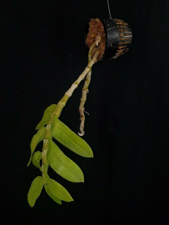 trilabelo Dendrobium parishii fma peloric form