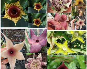 Starfish Cactus Stapelia Gigantea- Grandiflora-Orbea Variegata - Little Red Dragon different colors