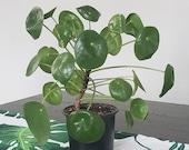 Pilea Peperomioides Houseplant - Pancake Plant - Chinese Money Plant - UFO Plant - 4 quot Pot
