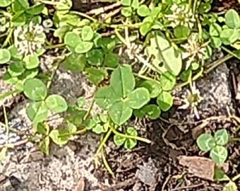 terrarium MTO Irish 4 leaf clover 3 Fairy garden clovers St Patrick/'s Miniature clover patch set of 3 shamrock