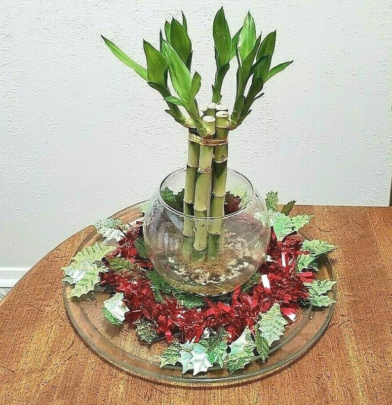 Gift 8 inches Lucky Bamboo 6 Healthy Plants Indoor Plant All Year Feng Shui