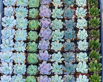 Wholesale Succulent Plants