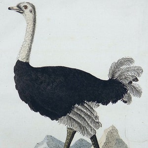 LEMAIRE 19th Century Birds Ornithology hand colored pint circa 1860 original and rare