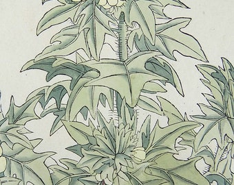 38cm orig Mugwort Botany hand colour 1774 Salamon Schinz FOLIO