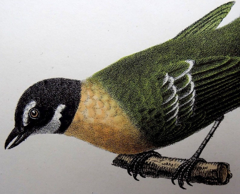 k.j Brodtmann original hand coloured folio stone lithography 1830 ANTBIRDS Ornithology