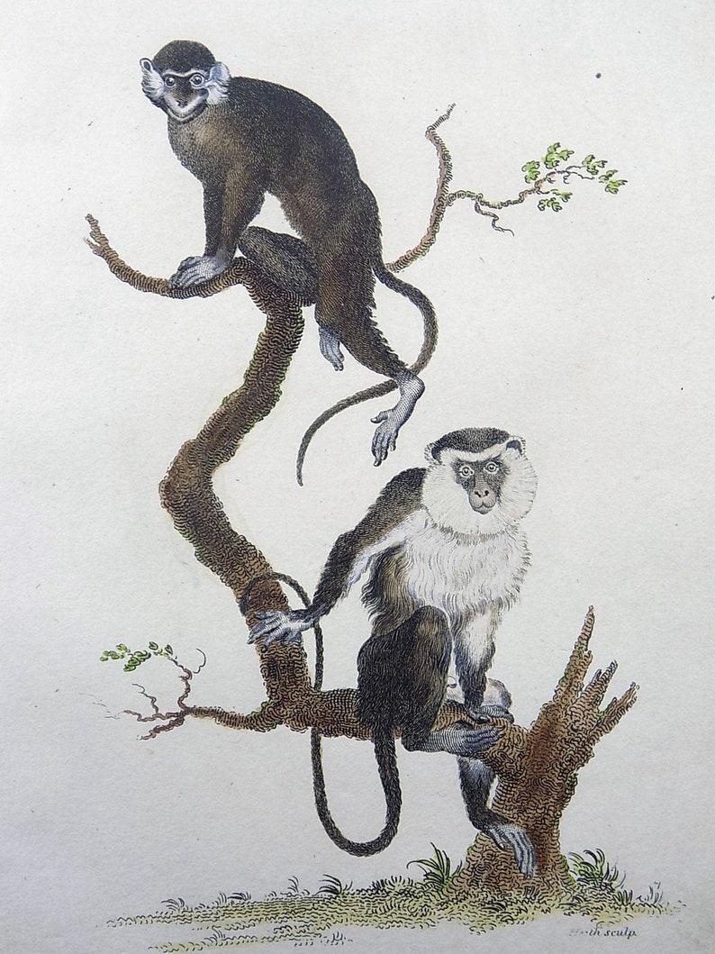 Mammals Fine First Impression In Hand Colour Mustache Monkey 1800 Shaw