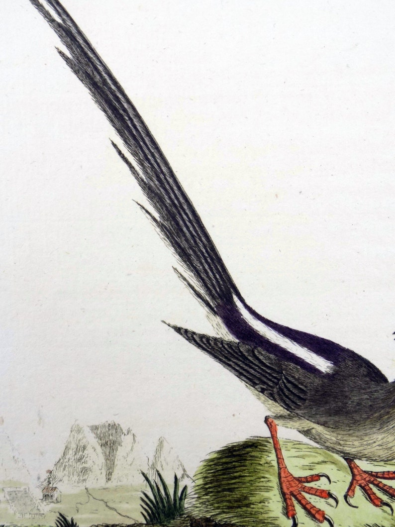 1785 John Latham Synopsis hand coloured engraving MOUSEBIRD Africa