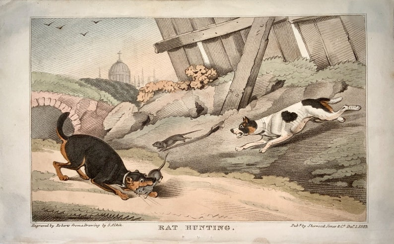 hand coloured aquatint RAT HUNTING 1823 Sherwood after Alken