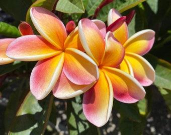 Sale!! Two Fragrant Frangipani Peach Plumeria Cuttings 10-12 in