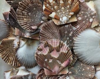 seashell sea shell WHOLESALE 30 Pectin Shells Set of 30 shell terrarium wholesale wedding favors sale seaurchin bulk