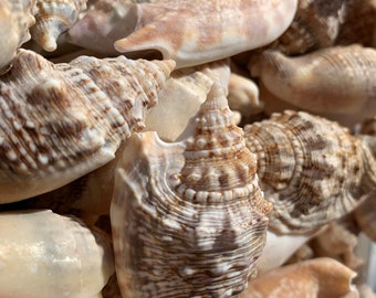 and coastal decor perfect for beach weddings Small white and off white Sea Shells snail shells crafts Baby Conchs