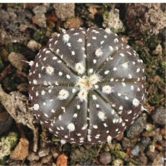 3CM Succulent Plant Cacti Cactaceae Cactus Yellow Astrophytum Home Garden Rare