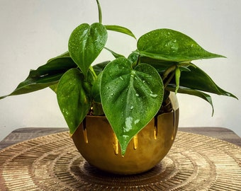 """Heartleaf Philodendron Cordatum 