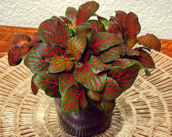 "Red & Pink Fittonia | Mosaic Plant Jewel Plant | Fittonia Albivenis Nerve Plant | Pet Friendly Plant | 4"" Colorful Live Plant"
