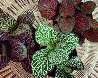 "Fittonia Albivenis | Mosaic Plant, Nerve Plant, Jewel Plant, Painted Net Leaf | Live Plant | Pet Safe | 2"" Full Rooted Plant"