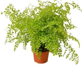 Live Maidenhair Fern Houseplants | Pet Friendly Houseplants | Large Indoor Plants Live | Air Purifying Indoor Plant | Live House Plant