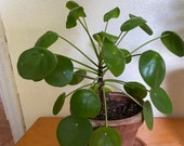 Pilea Peperomioides live plant chinese money plant, pancake plant